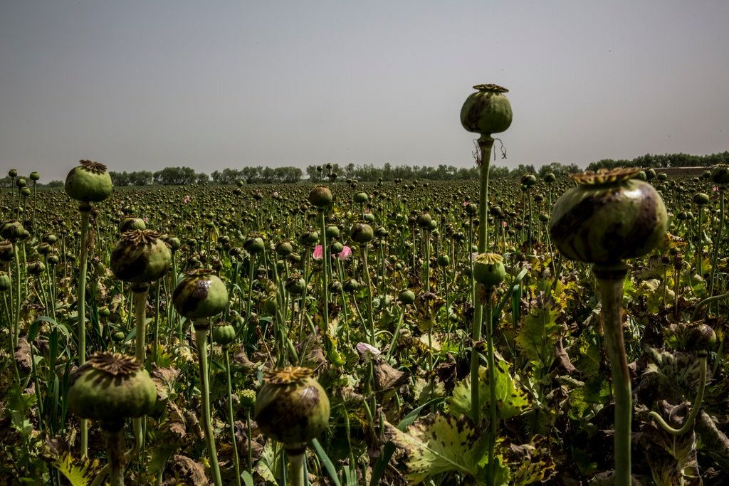 In 2018, the total opium poppy cultivation area in Afghanistan was estimated at between 242,000 to 283,000 hectares, according to a United Nations report, the second-highest measurement since it started monitoring the crop in 1994.CreditBryan Denton for The New York Times
