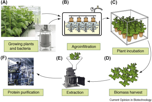 Genetically Modified Plant Vaccine